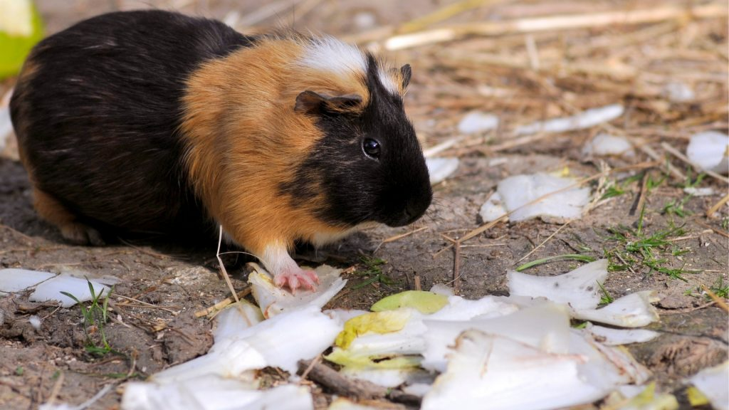 Serving Size and Frequency of Endives for Guinea Pigs