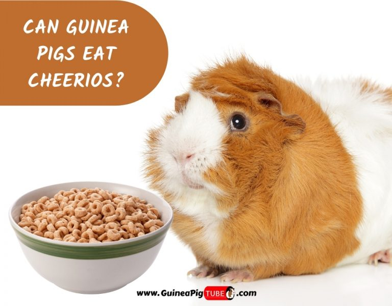Can Guinea Pigs Eat Cheerios_