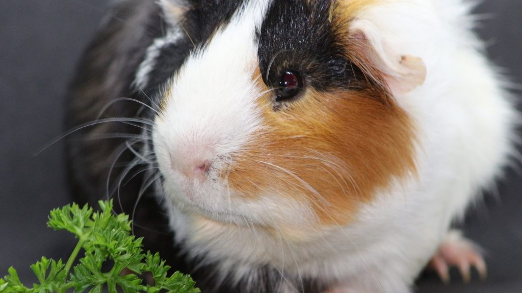Can Guinea Pigs Eat Curly Parsley