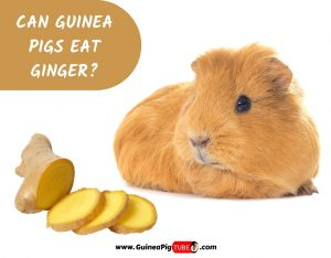 Can Guinea Pigs Eat Ginger_