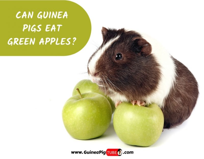 Can Guinea Pigs Eat Green Apples_