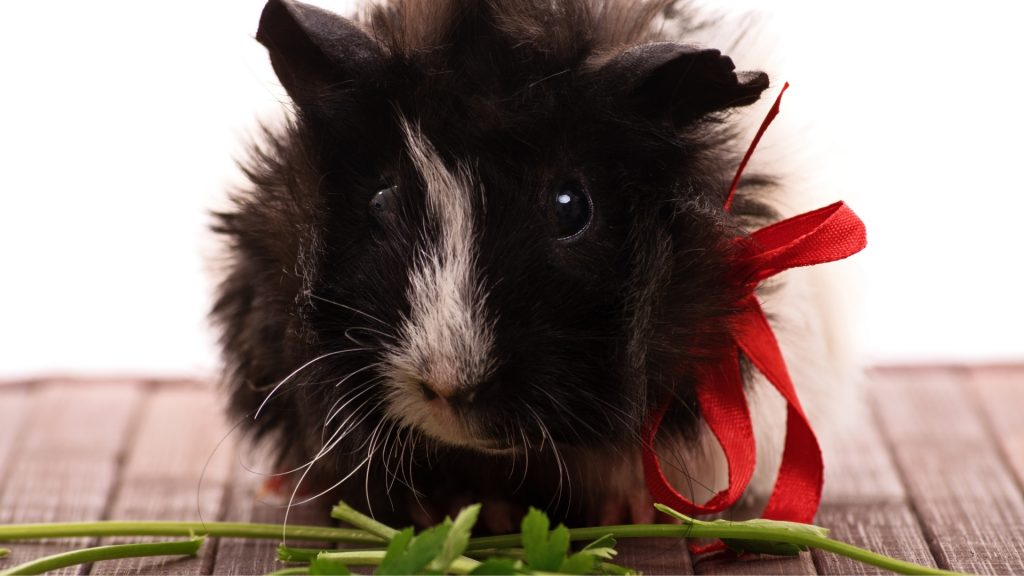 Can Guinea Pigs Eat Parsley Stems Parsley Stalks