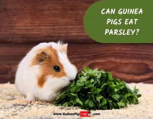 Can Guinea Pigs Eat Parsley_