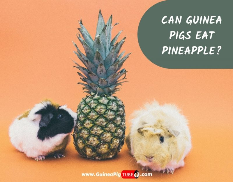 Can Guinea Pigs Eat Pineapple_