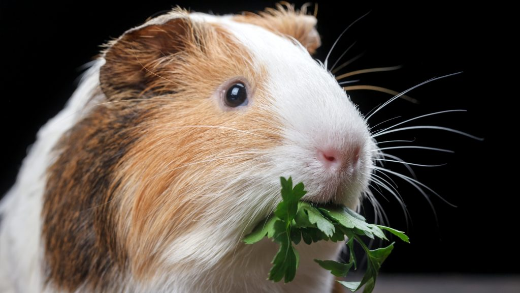 Is Parsley Bad for Guinea Pigs