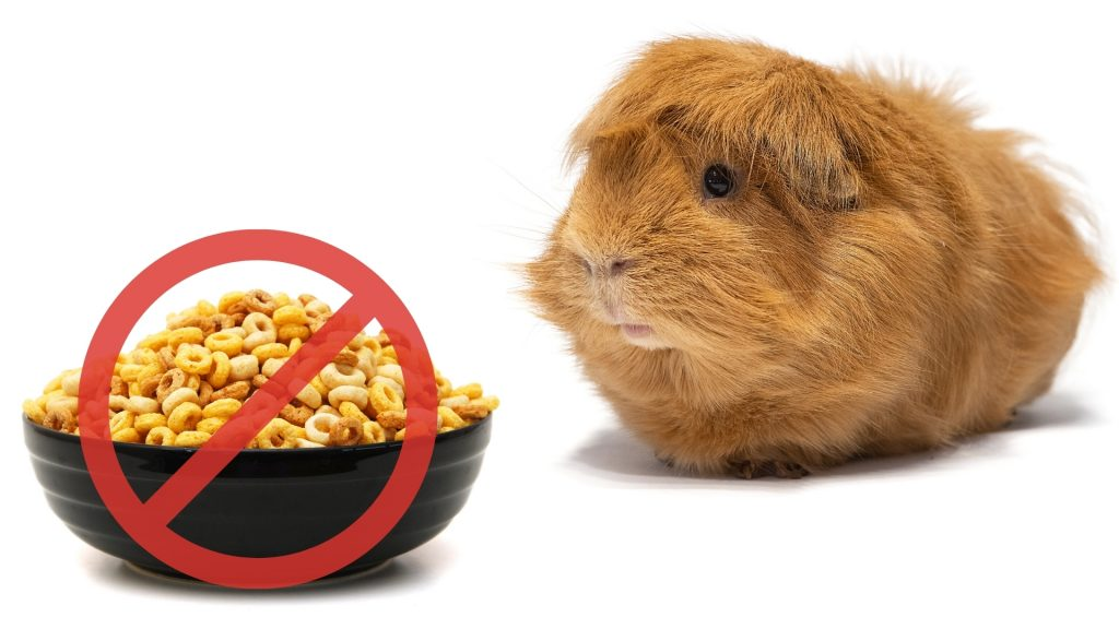 Risks to Consider When Feeding Cheerios to Guinea Pigs
