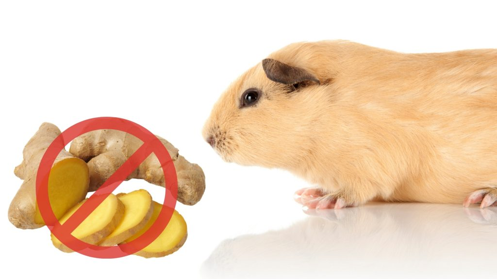 Risks to Consider When Feeding Ginger to Guinea Pigs