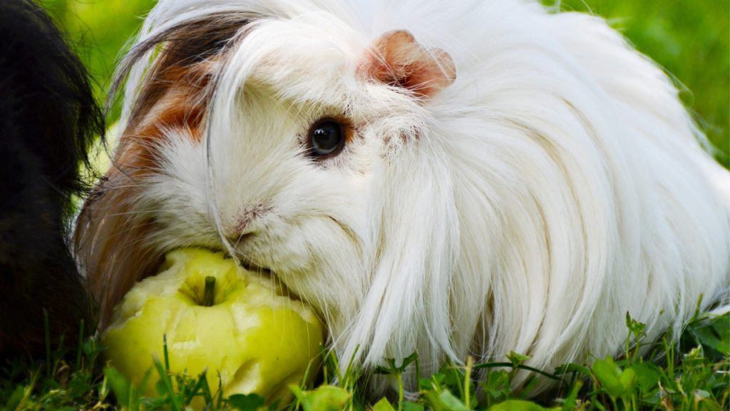 Risks to Consider When Feeding Green Apples to Guinea Pig