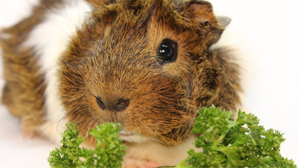 Serving Size and Frequency of Parsley for Guinea Pigs