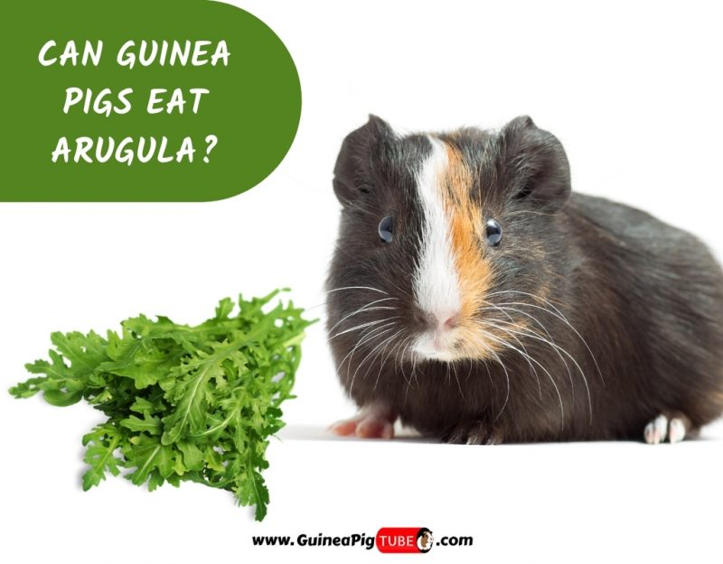 Can Guinea Pigs Eat Arugula_
