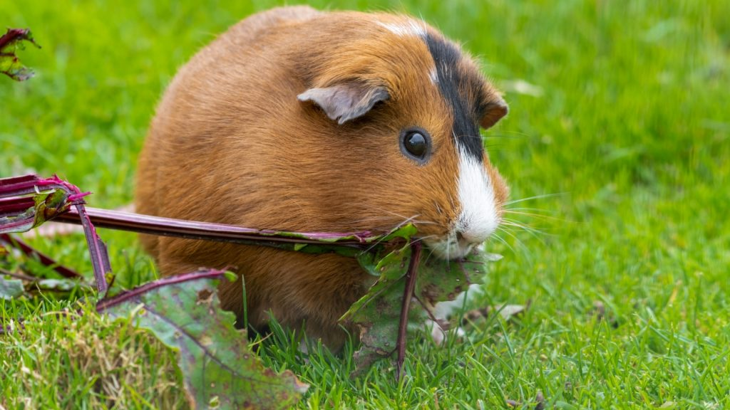 Can Guinea Pigs Eat Beetroot Leaves Beetroot Greens