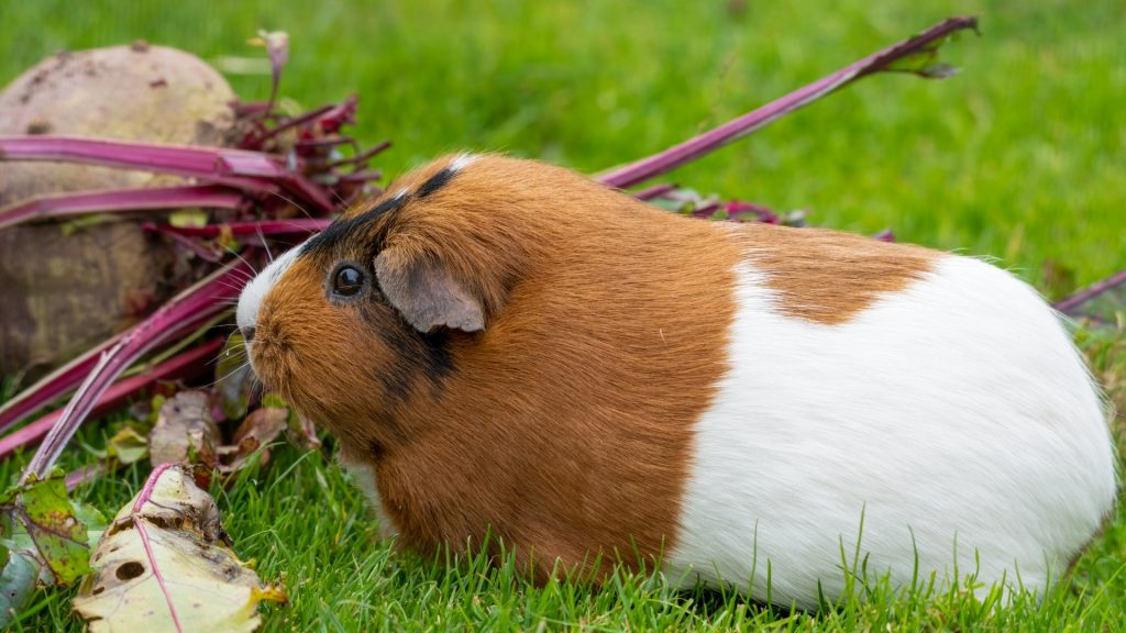 Can Guinea Pigs Eat Beetroot Stalks Beetroot Stems