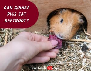 Can Guinea Pigs Eat Beetroot_