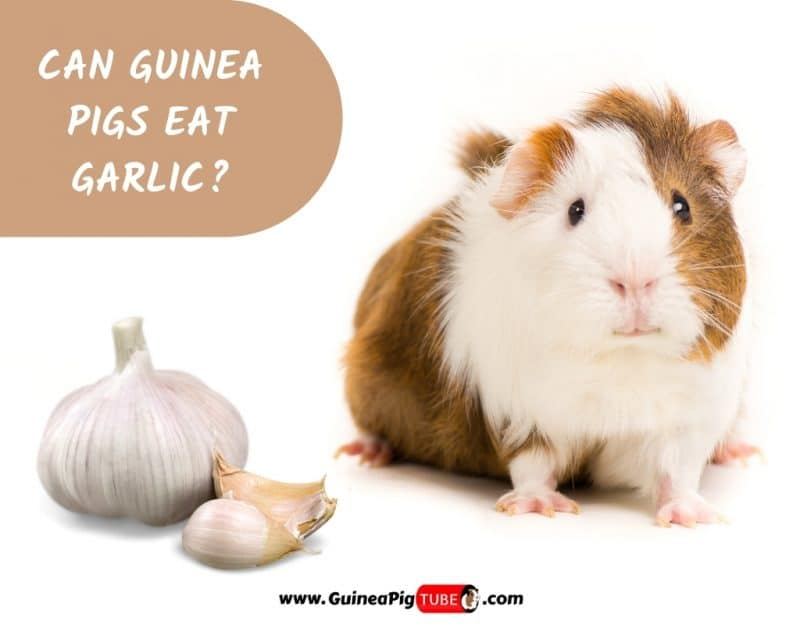 Can Guinea Pigs Eat Garlic_