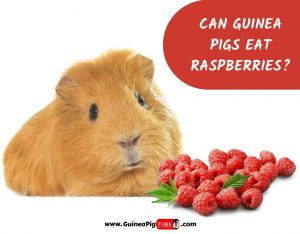 Can Guinea Pigs Eat Raspberries_