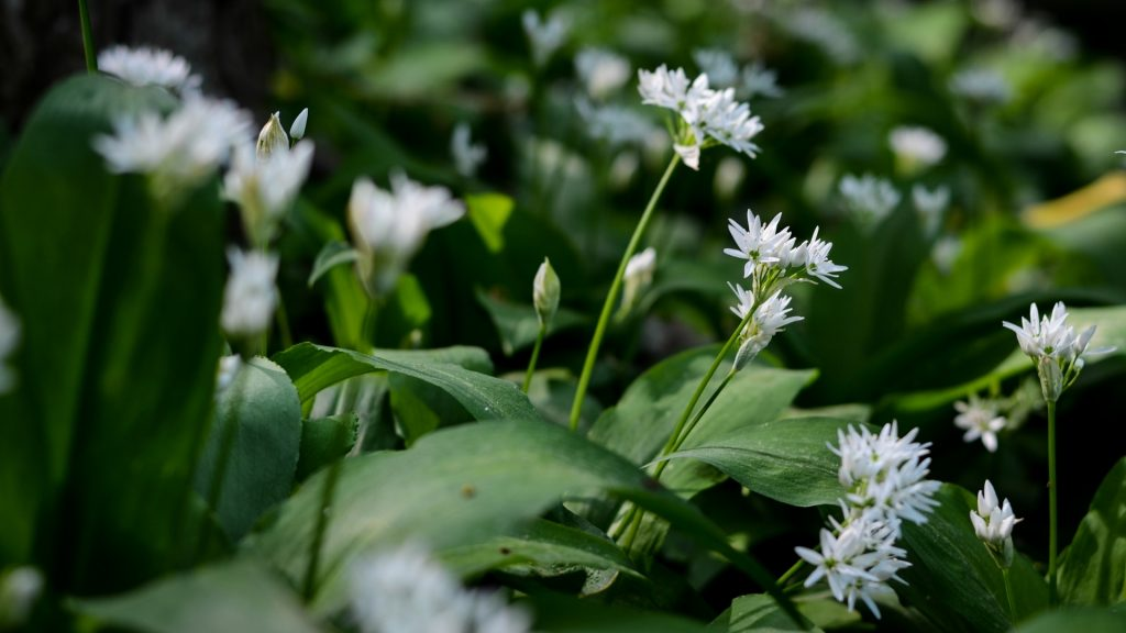 Can Guinea Pigs Eat Wild Garlic