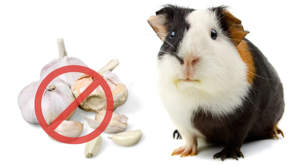 Risks to Consider When Feeding Garlic to Guinea Pigs