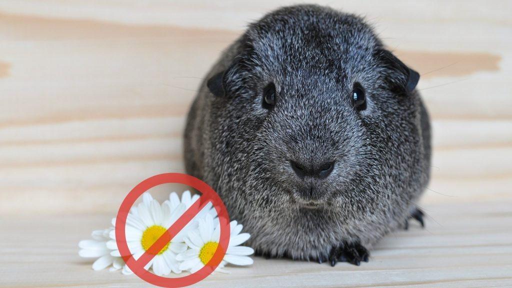 Are Daisies Poisonous to Guinea Pigs