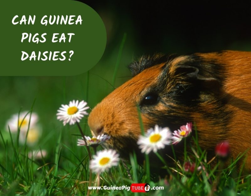 Can Guinea Pigs Eat Daisies_