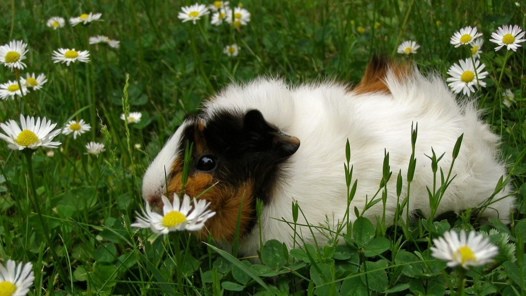 Can Guinea Pigs Eat Lawn Daisies