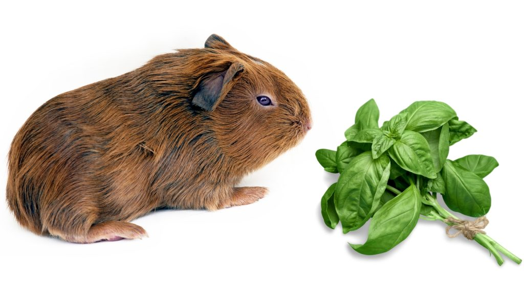 More Information About Guinea Pigs and Basil