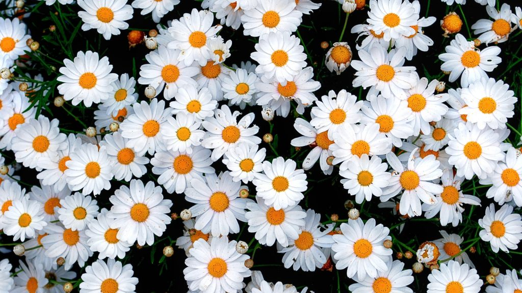 Nutrition Facts of Daisies