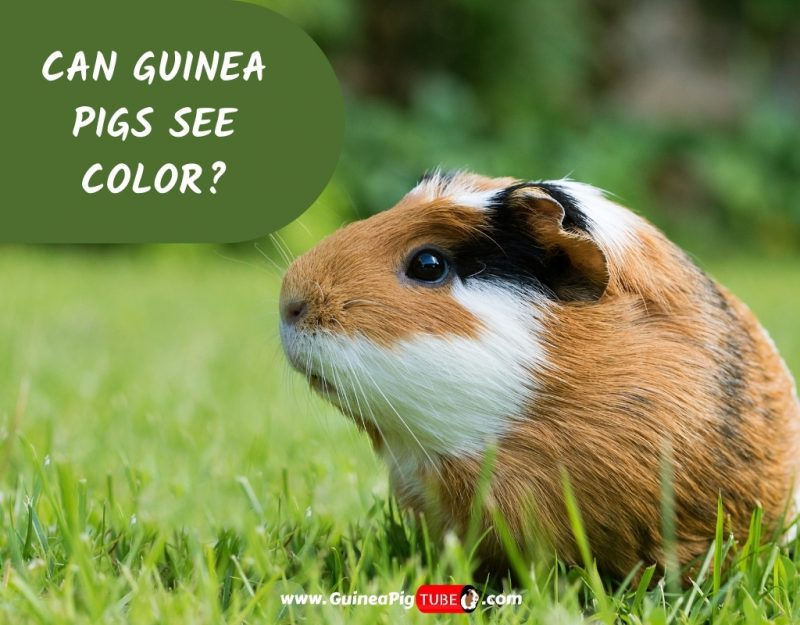 Can Guinea Pigs See Color_