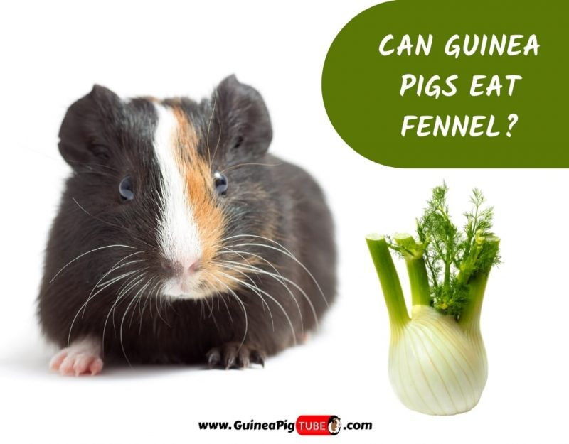 Can Guinea Pigs Eat Fennel