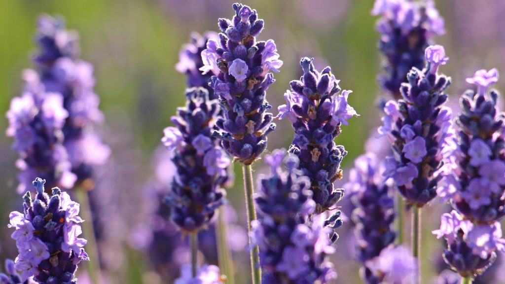 Health Benefits of Guinea Pigs Eating Lavender