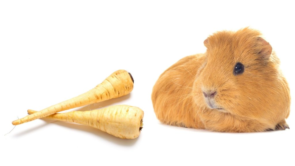 More Information About Guinea Pig and Parsnip