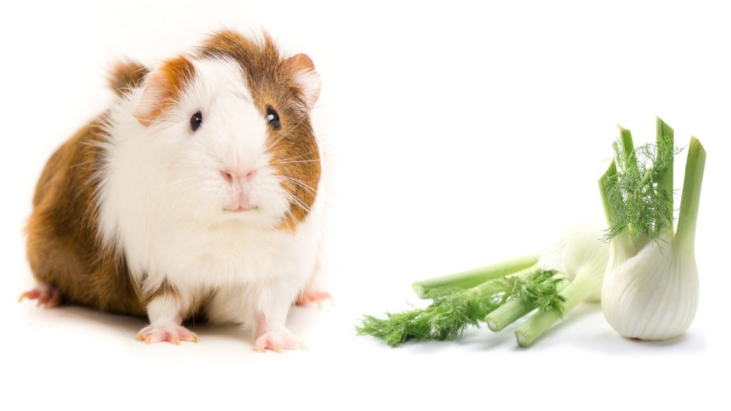 More Information About Guinea Pigs and Fennel