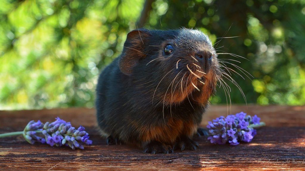 More Information About Guinea Pigs and Lavender